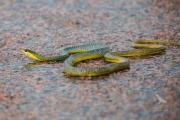 <h5>Common Tree Snake</h5><p>Dendrelaphis punctulta</p>
