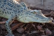 <h5>Esturine Crocodile</h5><p>Crocodylus porosus</p>