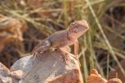 <h5>Ring-trailed Dragon</h5><p>Ctenophorus caudicintus</p>