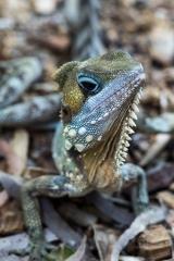 <h5>Boyd's Forest Dragon</h5><p>Hypsilurus boydii</p>