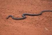 <h5>King Brown Snake</h5><p>Pseudechis australis</p>