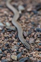 <h5>Burton's Snake-lizard</h5><p>Lialis burtonis</p>