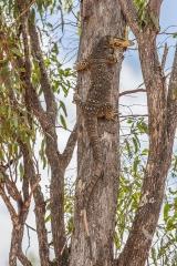 <h5>Yellow-spotted Monitor</h5><p>Varanus panoptes</p>