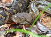 <h5>Scrub Python</h5><p>Morelia kinghorni</p>