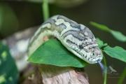 <h5>Jungle Carpet Python</h5><p>Morelia spilota cheynei</p>