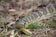 <h5>Eastern Carpet Python</h5><p>Morelia spilota mcdowelli</p>