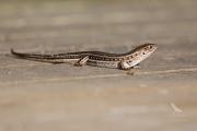 <h5>Robust Striped Skink</h5><p>Ctenotus robustus</p>