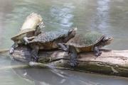 <h5>Saw-shelled Turtle</h5><p>Elseya latisternum</p>