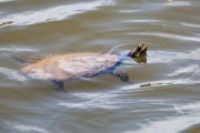 <h5>Cann's Long-necked Turtle</h5><p>Chelodina canni</p>