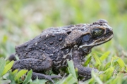 <h5>Cane Toad</h5><p>Rhinella marina </p>